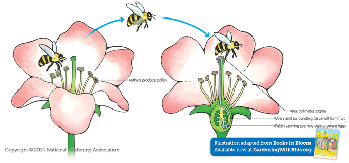 Image result for diagram of cycle of bees pollinating flowers
