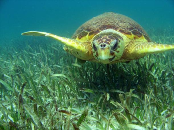 sea-turtle-in-grass1