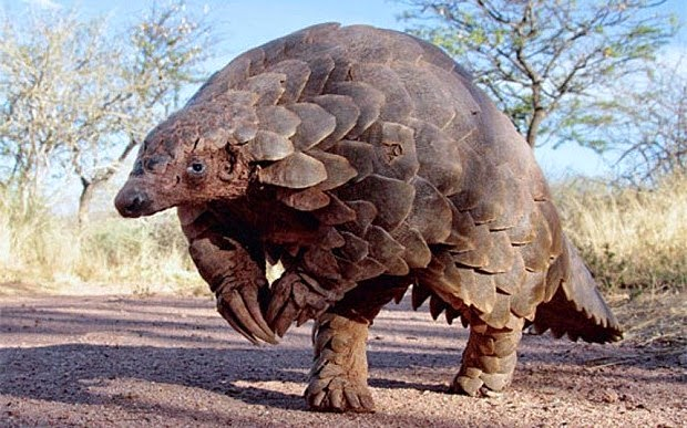 224310815-pangolin-pictures