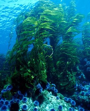 kelpforest