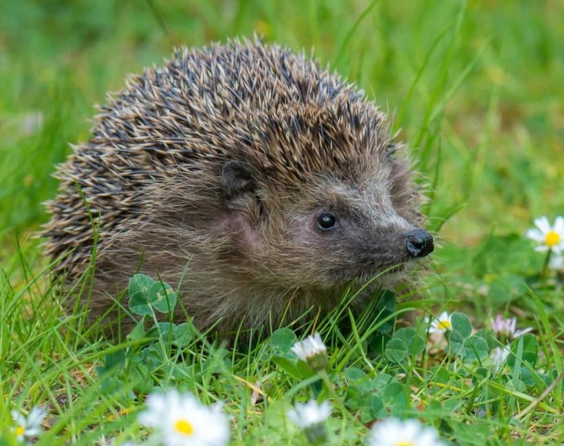 Helping-hedgehogs-prepare-for-hibernation-min (2)