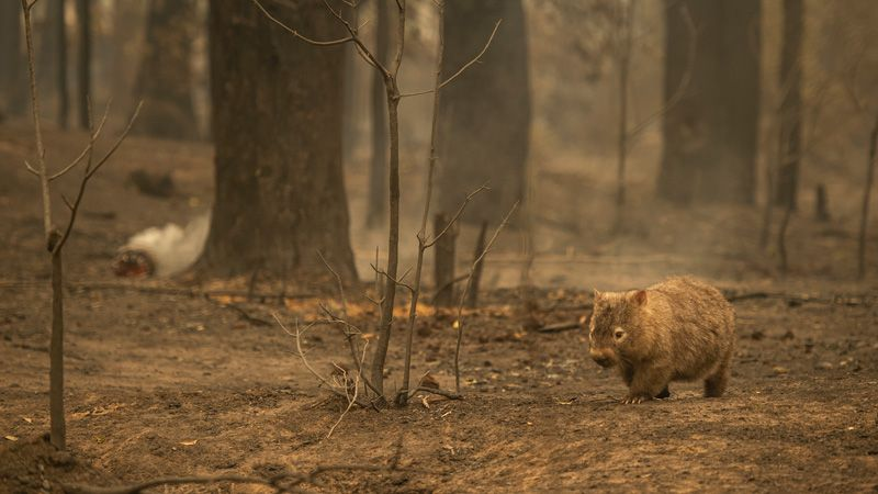 wombat after fire