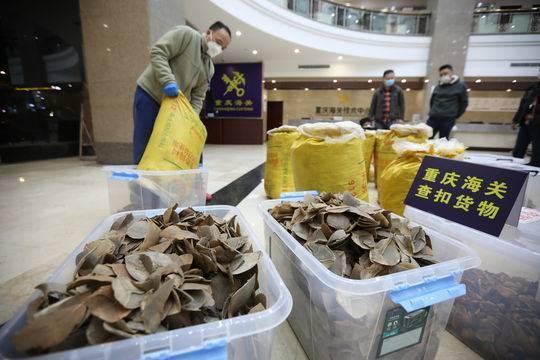 China pangolin scales