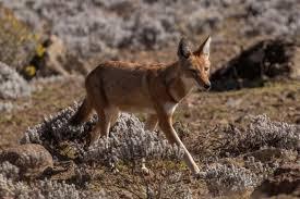 ethiopian wolf2