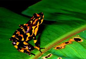 harlequinfrog